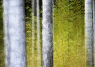trädstammar med höstlöv