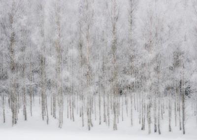 träd med frost