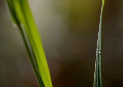 grässtrå med vattendroppe