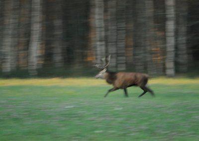 deer-webb
