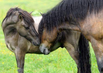 naturen_horse_böle1_s