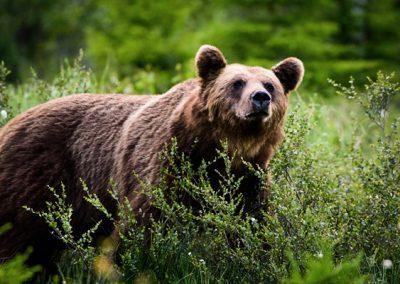 bear10